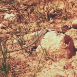 A lizard basks in the sun along Grand Canyon National Park's Bright Angel Trail