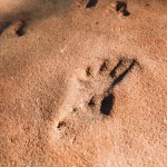 Close-up of fossilized lizard print in the Coconino Sandstone