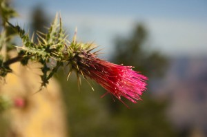Grand Canyon thistle in bloom
