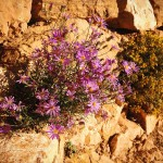 Purple and yellow wildflowers grow from a rock wall along the South Kaibab Trail