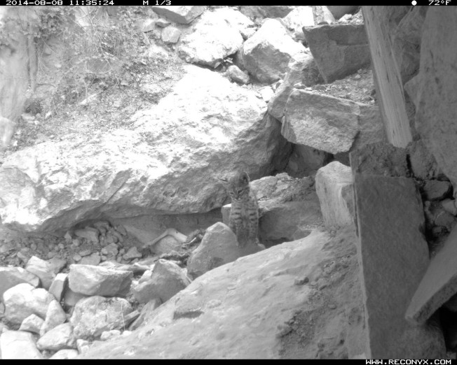 Camera trap photo of baby bobcat at Grand Canyon National Park