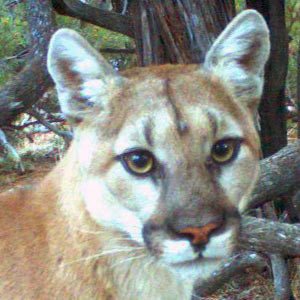 Thumbnail image of a mountain lion face