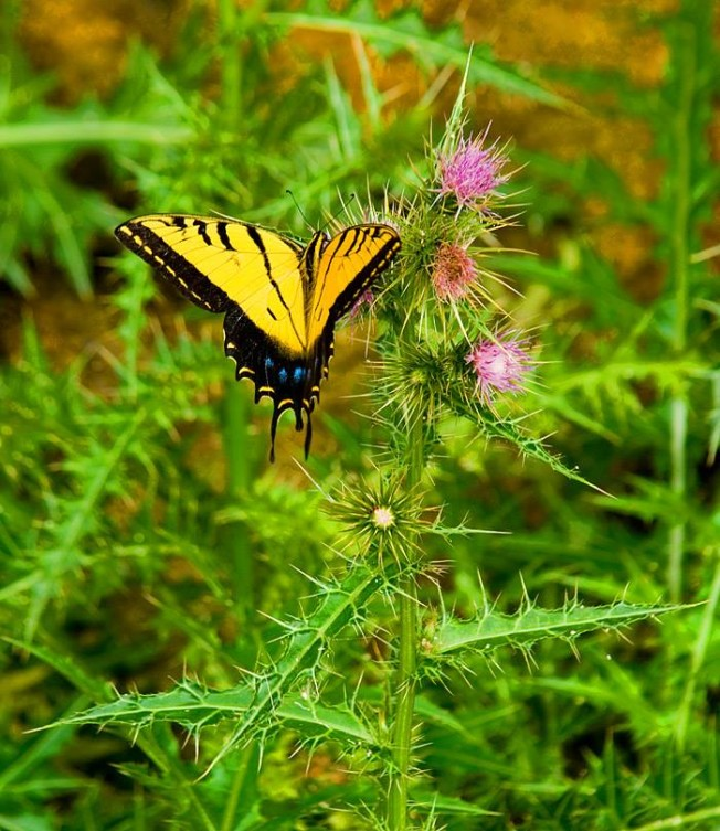Western tiger swallowtail on thistle in Grand Canyon National Park