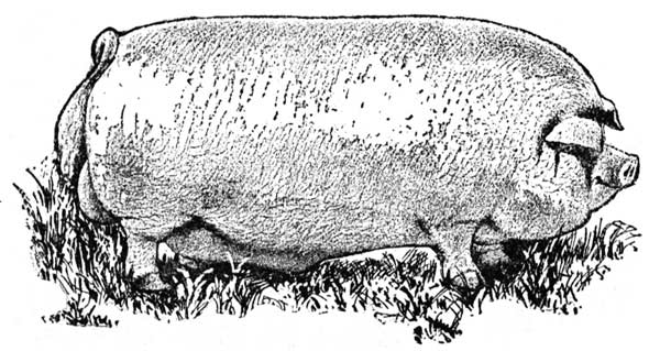 "An illustration of a pig from a 1902 book titled ""Hogology."""