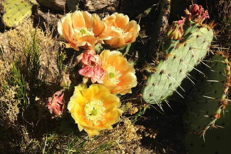 prickly-pear-flower-on-hermit-trail